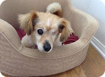 Tibetan Spaniel/Welsh Corgi Mix Dog for adoption in Lomita, California - Fergie