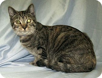 Domestic Shorthair Cat for adoption in Powell, Ohio - Reanna
