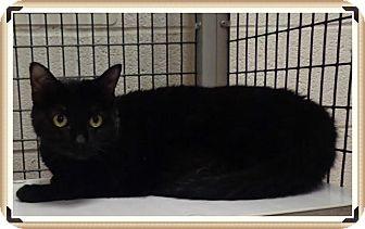 Domestic Shorthair Cat for adoption in Marietta, Georgia - SHEBA
