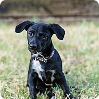 Adopt A Pet :: Puffin - Austin, TX