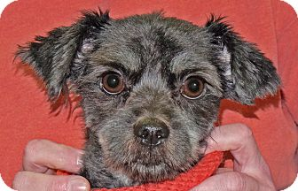 Poodle (Miniature) Mix Dog for adoption in Spokane, Washington - Spunky