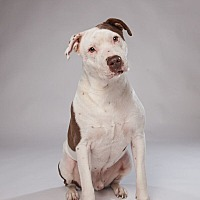 Staffordshire Bull Terrier/Terrier (Unknown Type, Medium) Mix Dog for adoption in Houston, Texas - Brutus
