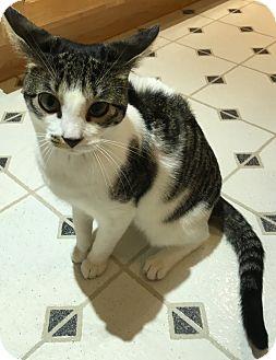 Domestic Shorthair Kitten for adoption in Colmar, Pennsylvania - Skye