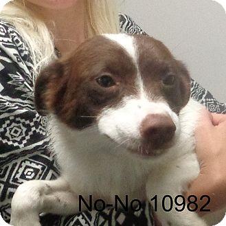Australian Kelpie/Spitz (Unknown Type, Small) Mix Dog for adoption in Manassas, Virginia - No No