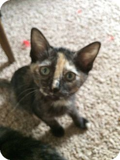 Domestic Shorthair Kitten for adoption in Levelland, Texas - Cameron