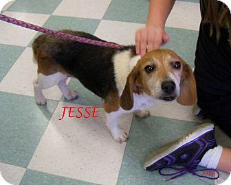 Beagle Dog for adoption in Ventnor City, New Jersey - JESSE