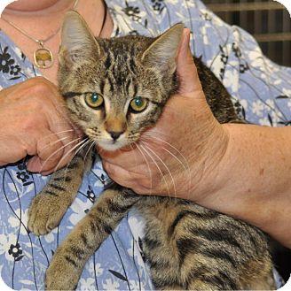 Domestic Shorthair Cat for adoption in Sunrise Beach, Missouri - Doe