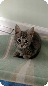 Domestic Shorthair Kitten for adoption in Austintown, Ohio - Bubbles