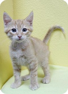 Domestic Shorthair Kitten for adoption in Benbrook, Texas - Duke