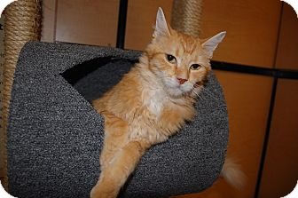 Domestic Shorthair Cat for adoption in Whittier, California - Liam