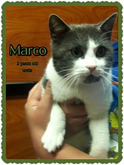 Domestic Shorthair Cat for adoption in Richmond, California - Marco