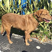 Labrador Retriever/Chesapeake Bay Retriever Mix Dog for adoption in West Palm Beach, Florida - Layla