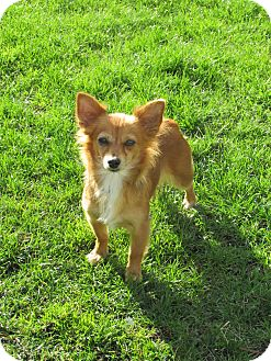 Pomeranian Mix Dog for adoption in Columbia Heights, Minnesota - Olivia