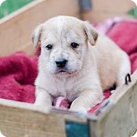 Adopt A Pet :: Laurie $250 - Seneca, SC