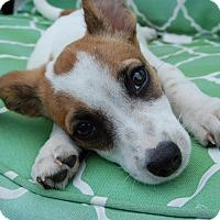 Adopt A Pet :: Harley - Plainfield, IL