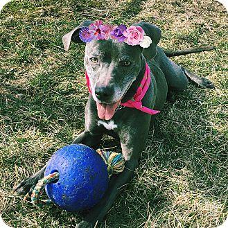 Weimaraner/Poodle (Standard) Mix Dog for adoption in Piqua, Ohio - Sheba