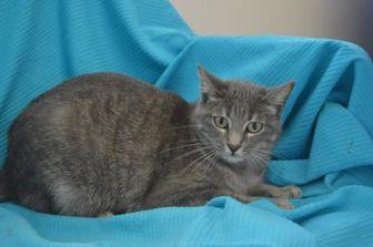Domestic Shorthair/Domestic Shorthair Mix Cat for adoption in New Iberia, Louisiana - Linda