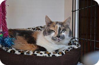 Calico Cat for adoption in O'Fallon, Missouri - Simeon