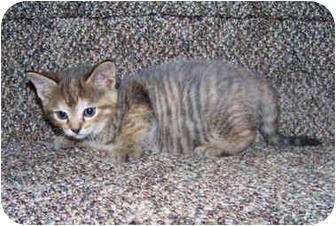 Domestic Shorthair Kitten for adoption in Brighton, Michigan - Coconut