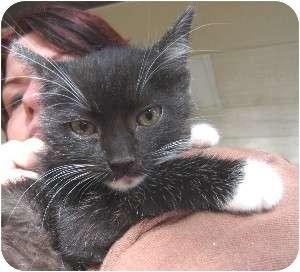 Domestic Shorthair Kitten for adoption in Schertz, Texas - Mellow