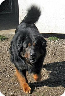 Rottweiler/Chow Chow Mix Dog for adoption in Hayden, Idaho - Nose