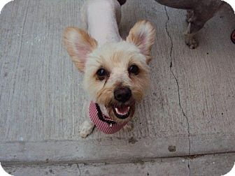 Terrier (Unknown Type, Small)/Coton de Tulear Mix Dog for adoption in San Diego, California - SALLY
