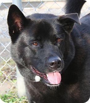 Akita/Newfoundland Mix Dog for adoption in Berea, Ohio - Gavin