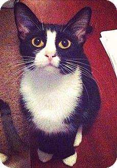 Domestic Shorthair Cat for adoption in Bentonville, Arkansas - Flora