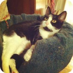 Domestic Shorthair Cat for adoption in Brooklyn, New York - FRANKLIN