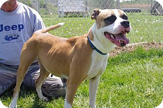 Boxer Mix Dog for adoption in Elyria, Ohio - Ginger