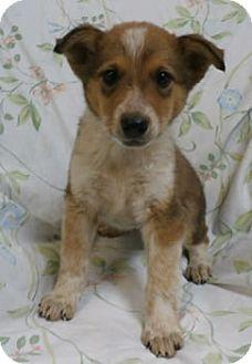 Collie Mix Puppy for adoption in Avon, New York - Ivy