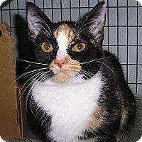 Domestic Shorthair Kitten for adoption in Eldora, Iowa - Nora