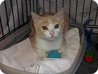 Domestic Shorthair Cat for adoption in New Martinsville, West Virginia - Hydro