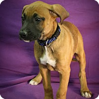 Adopt A Pet :: Sexy Sadie - Broomfield, CO