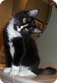 Domestic Mediumhair Kitten for adoption in Plainville, Massachusetts - Cooper 3