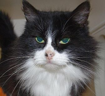 Domestic Shorthair Cat for adoption in Longview, Washington - Oreo