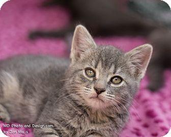 Domestic Shorthair Kitten for adoption in Fountain Hills, Arizona - Sarah