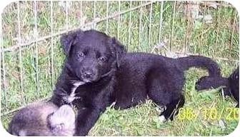 Labrador Retriever Mix Puppy for adoption in Hammonton, New Jersey - Susie