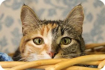Calico Cat for adoption in Detroit Lakes, Minnesota - Amy