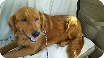 Golden Retriever Dog for adoption in Knoxvillle, Tennessee - Rusty
