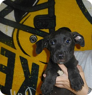 Labrador Retriever Mix Puppy for adoption in Oviedo, Florida - Aj