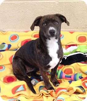 Terrier (Unknown Type, Medium)/Terrier (Unknown Type, Small) Mix Dog for adoption in Greensburg, Pennsylvania - Mya