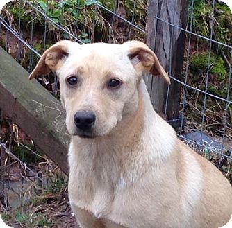 Labrador Retriever/Spaniel (Unknown Type) Mix Dog for adoption in Charlotte, North Carolina - Sarge