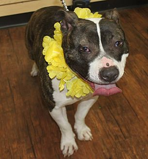 American Pit Bull Terrier/American Staffordshire Terrier Mix Dog for adoption in Detroit, Michigan - Brianna Oshley