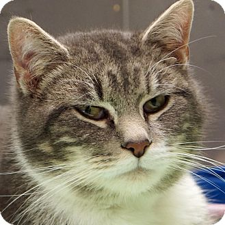 Domestic Shorthair Cat for adoption in Sprakers, New York - Professor