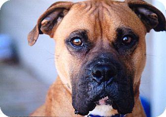 Boxer Dog for adoption in Westminster, Maryland - Mingo