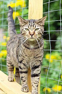 Domestic Shorthair Cat for adoption in San Antonio, Texas - Jeffrey