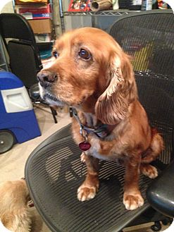 Cocker Spaniel Dog for adoption in Santa Barbara, California - Carly