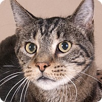 Domestic Shorthair Cat for adoption in Chicago, Illinois - Calvin