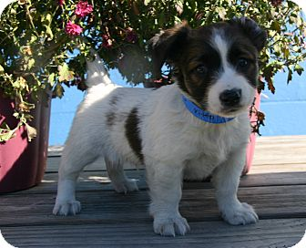 Jack Russell Terrier Mix Puppy for adoption in Waldorf, Maryland - Vito